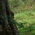 Rotschwänzchen sammelt Insekten