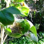 Pfaffenhütchen-Gespinstmotte, Yponomeuta cagnagella - Foto P. Welker