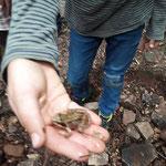 Ein Frosch vom nahen Münzenbach - Foto B. Gerlach