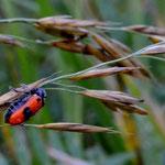 Mimikri  (Bild: holl)