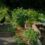 Häufig in den Gärten sind Amseln