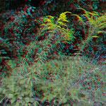 Auch eine invasive Pflanze: Kanadische Goldrute