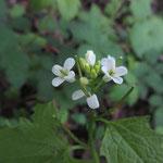 Die feinen Blüten der Knoblauchsrauke - Foto I. Pedal