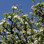 ...und weiß der Apfelbaum - Foto P. Welker