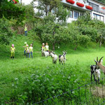 Eine Ziegenherde stürmt das Neckarufer