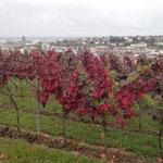 ...verfärben sich die Weinblätter - Foto I. Pedal