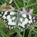 Der Schachbrettfalter ist der Schmetterling des Jahres 2019 - I. Pedal