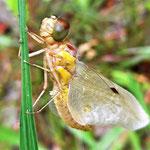 Letzte Verwandlung: Libelle pumpt die Flügel auf - Foto I. Pedal
