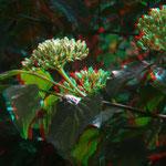 Der Hartriegel blüht schon schön    © P. W.