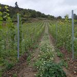 Neuanlage für ökologischen Weinbau - Foto I. Pedal