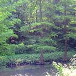 Sumpfzypressen lieben feuchte Standorte  (Foto: PeWe)