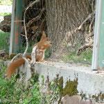 Nicht scheu: Eichörnchen