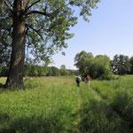 Wiesenflächen und Riesenpappel - Foto am 15.06.2017 von Ingo Pedal