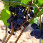 Noch hängen ein paar Wein-Trauben - Foto P. Welker
