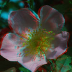 Blüte der Hecken-Rose   © P. W.