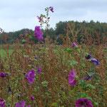 Malven mit tief-violetten Blüten