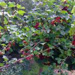 Stachel- und Johannisbeeren  (PeWe)