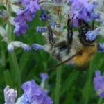 Honigbiene an Lavendel  (PeWe)