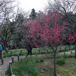 ほとんど一面白梅の中の紅梅