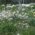 民家の庭に咲くハナニラとブランコ