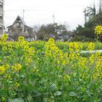 駐車場脇の菜の花