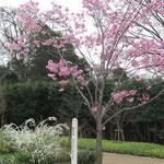 色々な種類の桜が