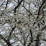 駐車場に一本だけ早咲きの桜