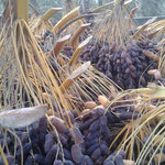 Iranian dates harvest