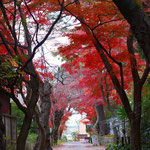 成城3丁目 桜ともみじの並木