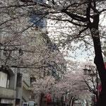 成城駅前の桜 4/2