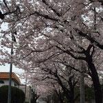 住宅街の桜並木 4/2