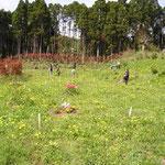たんぽぽで満開の樹木葬地