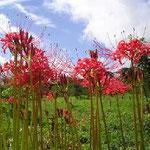 樹木葬地は彼岸花で真っ赤になります。