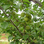 樹木葬地の入り口にある梅の実
