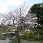寺の桜。老木ながら見事に花を咲かせます。