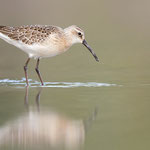 Sichelstrandläufer | Calidris ferruginea
