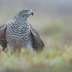 Habicht |Accipiter gentilis
