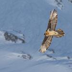 Bartgeier |Gypaetus barbatus