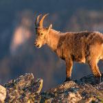 Steinbock |Capra ibex