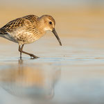 Alpenstrandläufer | Calidris alpina