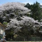 九鬼小学校の桜