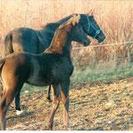 Hennessy Trak geb. Dez 1990  Arthus