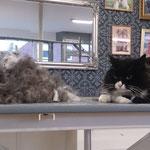 Langhaar-Mix-Katze mit Unterwolle