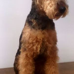 Welsh Terrier nach dem Trimmen