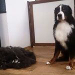 Berner Sennenhund mit Unterwolle