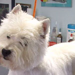 West Highland White Terrier nach dem Trimmen