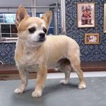 Chihuahua auf Wunsch geschoren