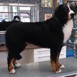 Berner Sennenhund auf Kundenwunsch stark gekürzt