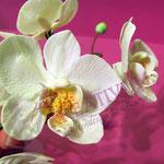 Blütenkurs Orchideen - Fondant/Blütenpaste