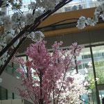 カフェに文字通り花を添えているのは桜の鉢植え